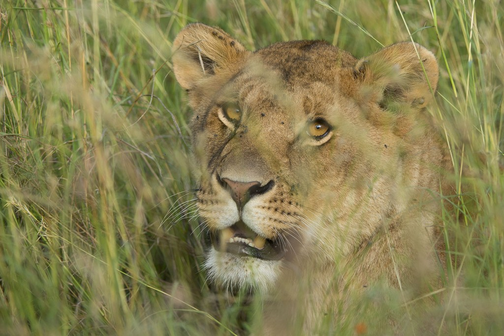 Serengeti Lion Project – adopted cub