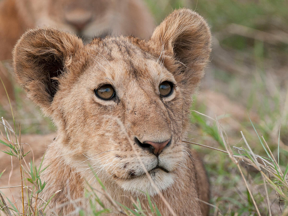 Serengeti Balloon Safaris support lion research and adopt a lion cub.
